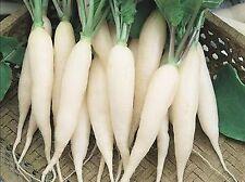 """60 graines Radis Glaçon Blanc """"Chandelle de Glace"""" - Légume potager"""