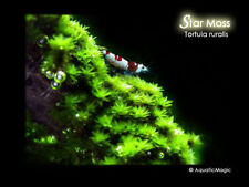 Star Moss - for live fish tank aquarium shrimp plant AP