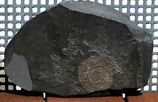 Holzmaden Fossile Dactylioceras  auf Schieferplatte 1,55 kg !!! Nr.2