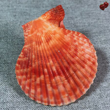 Pecten nobilis, Philippines, 65,7 mm, VERY NICE COLOR, Fine+++