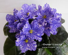 ☘ OUTER LIMITS ☘ BLOOMING ☘ African Violet Plant Saintpaulia ☘ Starter Plug