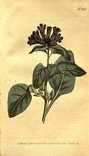50 Samen Physochlaina orientalis, Büschel bilsenkraut - Rarität