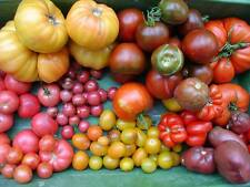 Famous Historical Hungarian Tomato MIX: 150 mixed old seed varieties, NON GMO