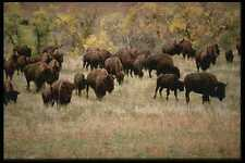 485003 Buffalo Herd On The Run During Roundup South Dakota USA A4 Photo Print
