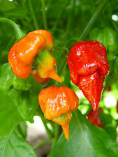 TRINIDAD SCORPION BUTCH T - GUINNESS WORLD RECORD 2011