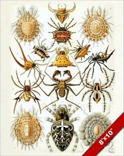 ARACHNID SPIDER SPIDERS SCIENTIFIC CLASS DRAWING REAL CANVAS GICLEE 8X10PRINT