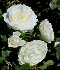 Rare Snow White Climbing Rose! 15 Seeds! Comb. S/H! SEE OUR STORE!