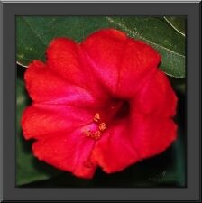 NEW! 40+  SCARLET RED FOUR O CLOCK FLOWER SEEDS / MIRABILIS JALAPA / PERENNIAL