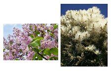 der wunderschöne Blauglockenbaum und der tolle Teebaum im Samen-Spar-Set !