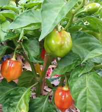 "Scotch Bonnet Red Chilli - 100 Seeds - A Chilli is Widely Called ""Ball of Fire""!"