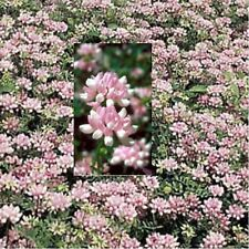 * CROWN VETCH * GROUNDCOVER!! 1000 SEEDS
