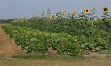 Sunflower Seeds - GIGANTEUS - Helianthus Annuus - Organic - GMO FREE - 10 Seeds
