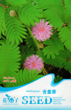 1 Pack 30 Mimosa Pudica Seeds Sensitive Plant Bashful Grass F002