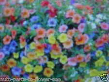"DWARF SIZE  ""COLORFUL""  MIXTURE OF PETUNIA HANGING BASKET or GROUND FLOWER SEEDS"