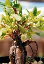 Der Ginseng Samen / Gemüse Pflanze für den Balkon die Geschenkidee das Geschenk