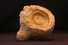 2.86 KG Large Stromatolite fossil algae 2.6 Billion YO oldest dinosaur fossils