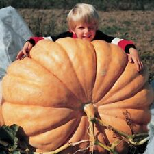 ATLANTIC GIANT PUMPKIN 10 SEED THIS IS THE KIND THAT GROWS THE WORLDS LARGEST