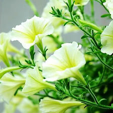 30 Yellow Petunia Seed Petunia Hybrida Beautiful Garden Flowers