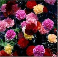 50+ MULTI-COLOR MIX CARNATION FLOWER SEEDS / PERENNIAL