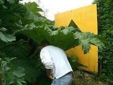 Gunnera manicata, winterhartes Mammutblatt bis 1,8m, 4 jährige Pflanze
