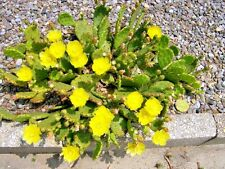 TWO EASTERN PRICKLY PEAR CACTUS PLANTS - Opuntia humifusa  - cold hardy