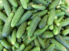 150 BOSTON PICKLING CUCUMBER Heirloom Cucumis Sativus Fruit Vegetable Seeds