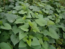 """Sweet potato plants (Tender tips and leaves are edible 50 Count Fresh Cut 6-8"""")"""