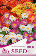 30 Original Package Seeds Ground-cover Chrysanthemum Seed Beautiful Flowers A274
