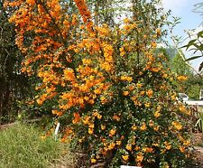 Berberis Darwinii,Wondeful for hedge and colour. Usa does not allow import. 25sd