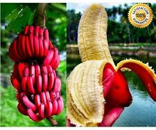 100 pcs Rare Red Banana Seeds milk taste, delicious fruit seeds