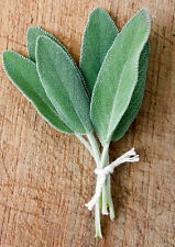 SALVIA OFFICINALIS - SALVIA / SAGE, 50 SEMI