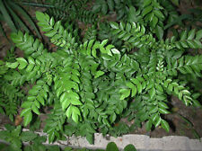 CURRY PLANTS ( FROM USA) Pre order . Ships July 15th