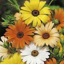 6,000 African Daisy Mix Seeds  BULK SEEDS