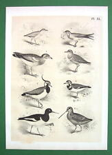 BIRDS Plover Peewit Swallow Oyster Catcher - Antique Litho Print