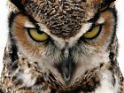 OWL BIRD FACE EYES CLOSE UP PHOTO ART PRINT POSTER PICTURE BMP730A