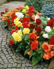 30+  Begonia Mix Flower Seeds / Shade Loving