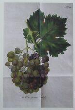 GRAUE ZIBEBE Nachdruck Druck print Obst Pomologie Weintraube