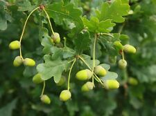 75 ENGLISH OAK, ACORNS seeds