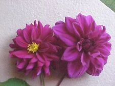 DAHLIA FLOWER BULBS ~~~ Plum ~~~~ BULBS ..20 plus year stock