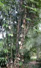 100 seeds for Java Black Bamboo Gigantochloa atroviolacea. From Australia.