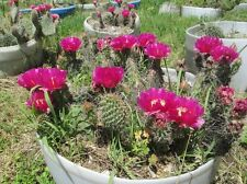 Hardy Prickly Pear Opuntia Cactus, RUFFLED MAGENTA BLOSSOMS!!!