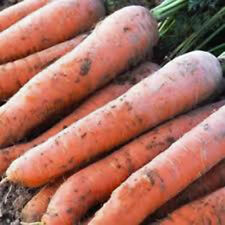 Carrot- Giant 2x4 Vegetable Seeds 200-250ct  (.5g)
