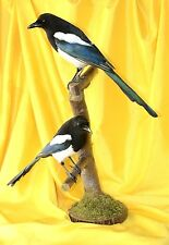 Pair of magpies stuffed birds taxidermy mount #2