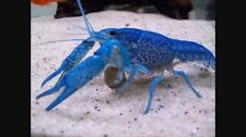 "(1) ELECTRIC BLUE CRAYFISH 3"" live tropical aquarium fish tank koi pond crawfish"
