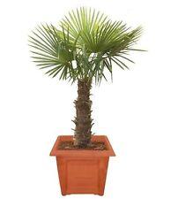 Trachycarpus fortunei, Chinesische Hanfpalme, 100 Samen