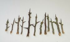 12 Hawthorn thorns for spells protection defence magic witchcraft Wicca
