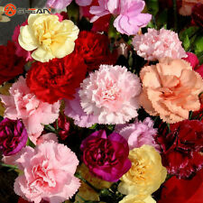 Mixed Color Carnation Lovely Flower Seeds 200 Particles / lot