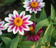 ZINNIA * STARLIGHT ROSE * Zinnia marylandica * EASY BEDDING PLANT * SEEDS
