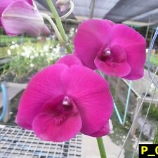 DENDROBIUM RED EYE HYBRID ORCHID PLANT GARDEN QUEEN