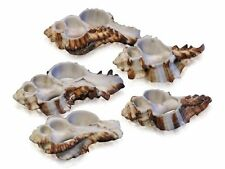 Endive Murex Sliced Shells (5 Sliced Shells) Cut Craft Seashells, Shell